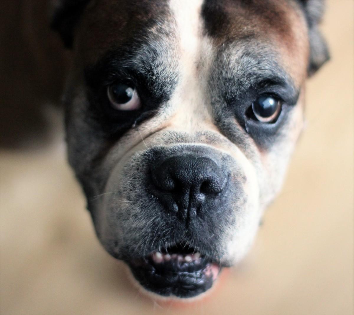 alter boxer hund